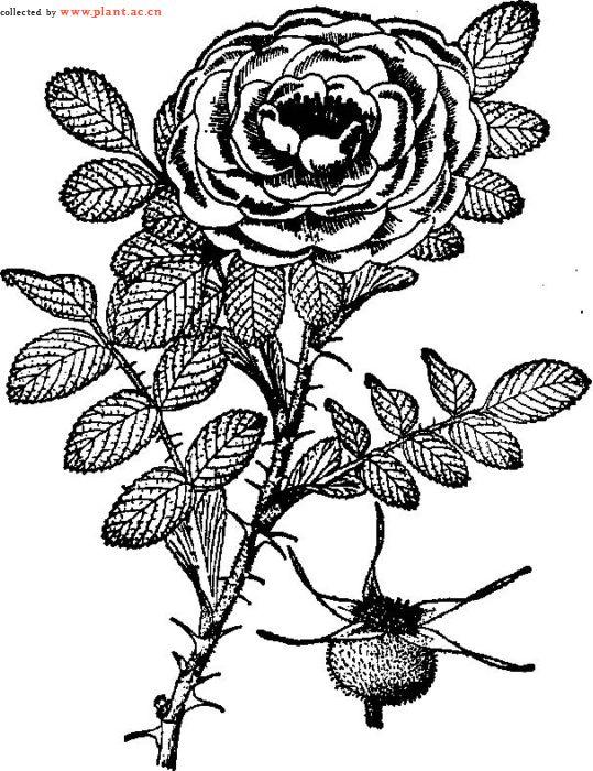 蔷薇花简笔画 手绘