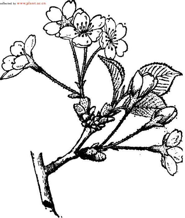 樱花图片手绘素描