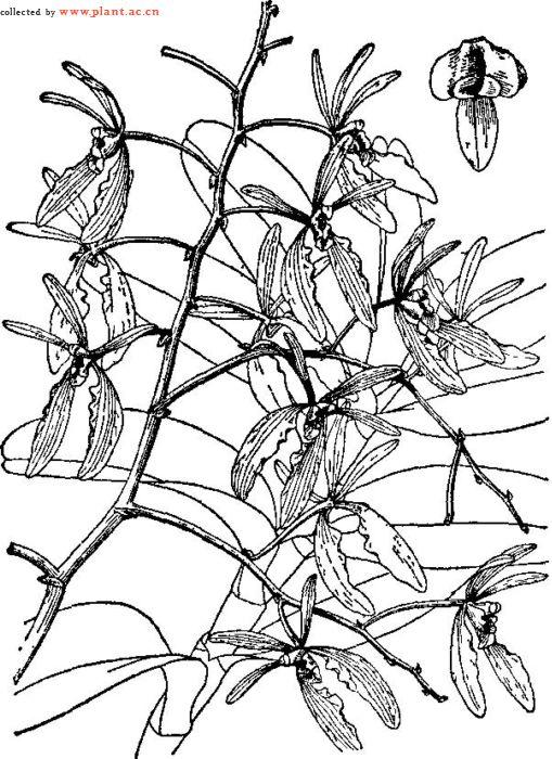 火焰兰Renanthera coccinea Lour.