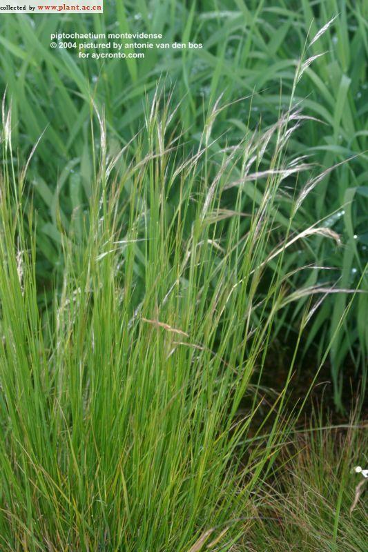 piptochaetium montevidense (Spreng) Parodi_植物图片库_植物通