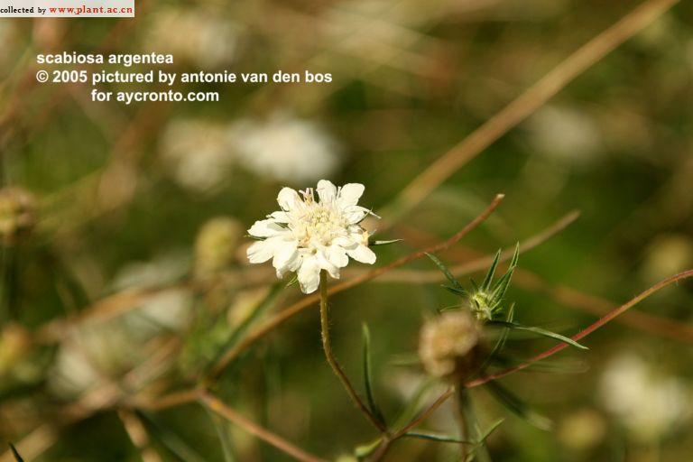 Silver Scabious (Scabiosa argentea). Скабиоза серебристая.… | Flickr