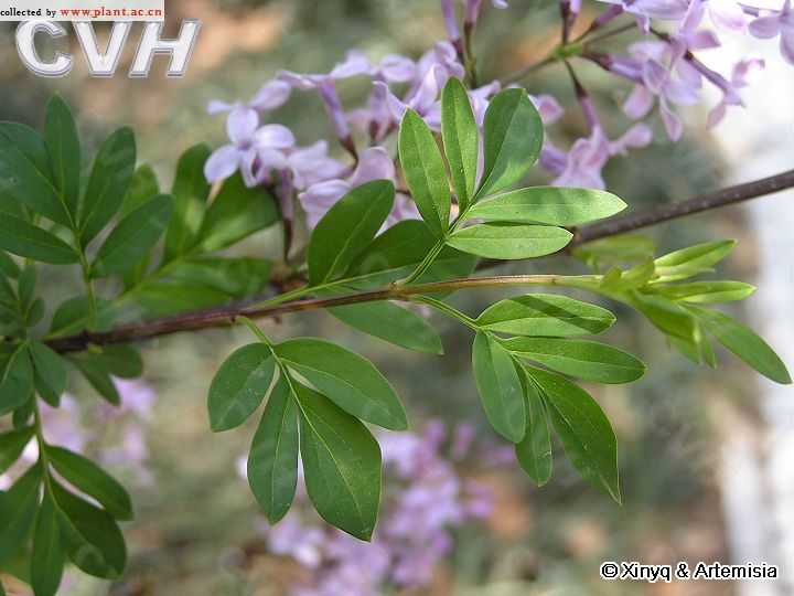 丁香大型人礹c._华丁香syringa protolaciniata p. s. green et m. c.