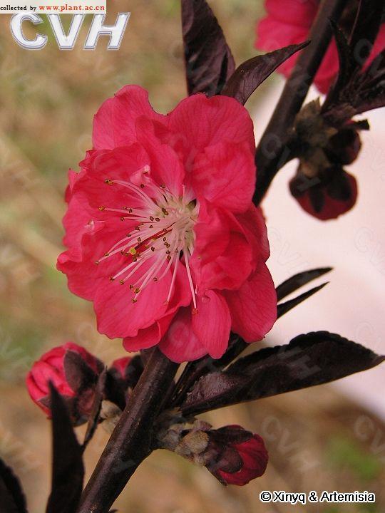 紫叶桃花Amygdalus persica Linn. var. persica f. atropurpurea Sch