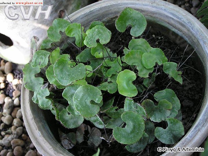 国家重点保护野生植物——荷叶铁线蕨