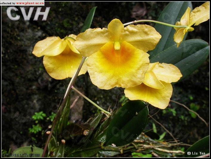 how to grow dendrobium lindleyi