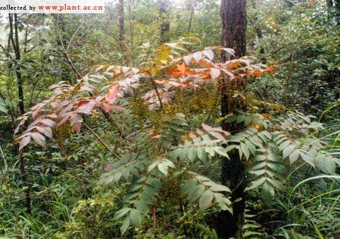 Toxicodendron vernicifluum  Wikispecies