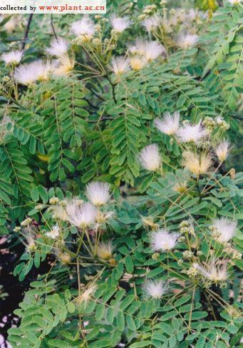小花山桃草_山合欢Albizia kalkora(Roxb.)Prain_植物通