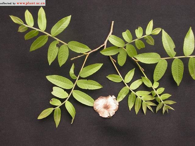 槐树叶子图片 柳树叶图片