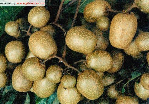 Actinidia latifolia