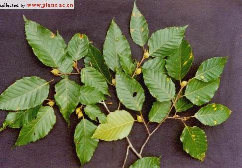 背景 壁纸 绿色 绿叶 盆景 盆栽 树叶 植物 桌面 487_339
