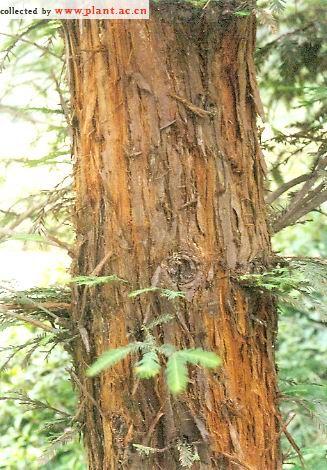 进口红杉_北美红杉种子_农产品供应_一亩田农业网