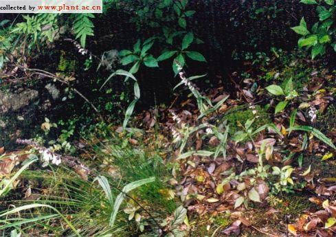 舌瓣鼠尾草_舌瓣鼠尾草SalvialigulilobaSun中国植物图像