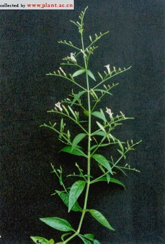 金蛇剑_穿心莲Andrographis paniculata (Burm. F.) Nees _植物通