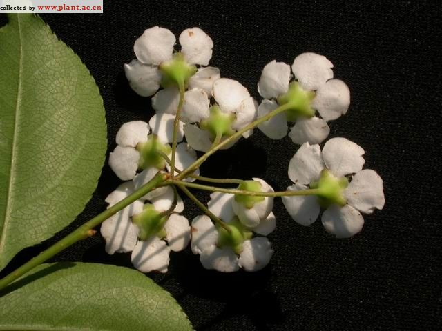 伞花石楠(植物摄影) - 绿色使者 - 绿色使者的博客