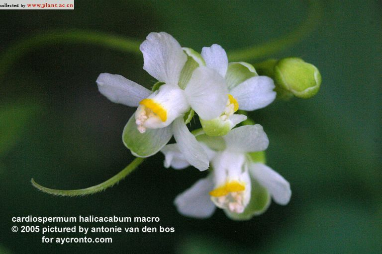 cardiospermum halicacabum Linn_植物图片库_植物通