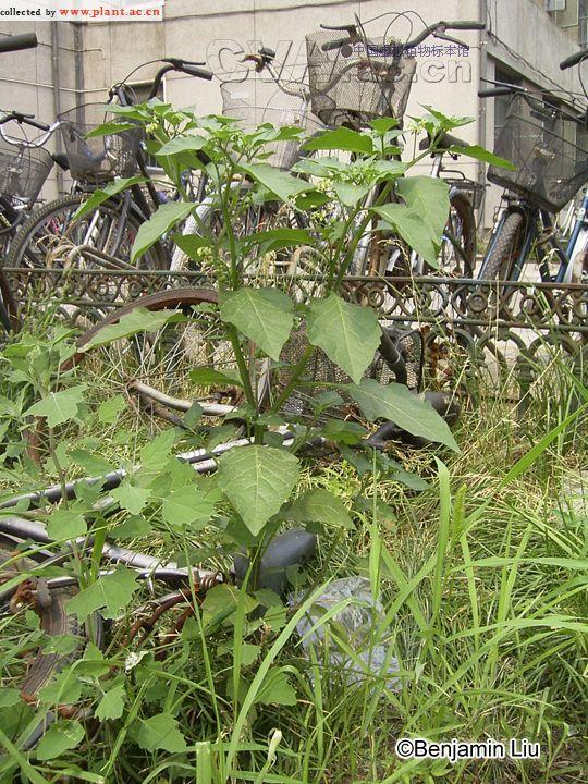 龙葵Solanum nigrum Linn.