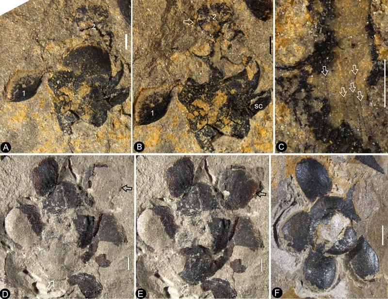 """南京早侏罗世地层发现迄今最古老的花朵化石""""南京花"""""""