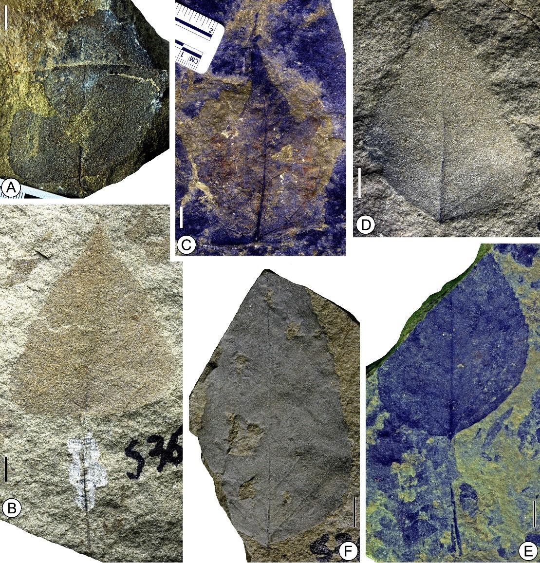 植物化石显示冈仁波齐盆地渐新世最晚期古海拔